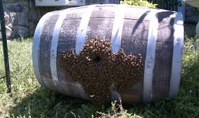 wine barrels make the perfect place in which to build a hive.